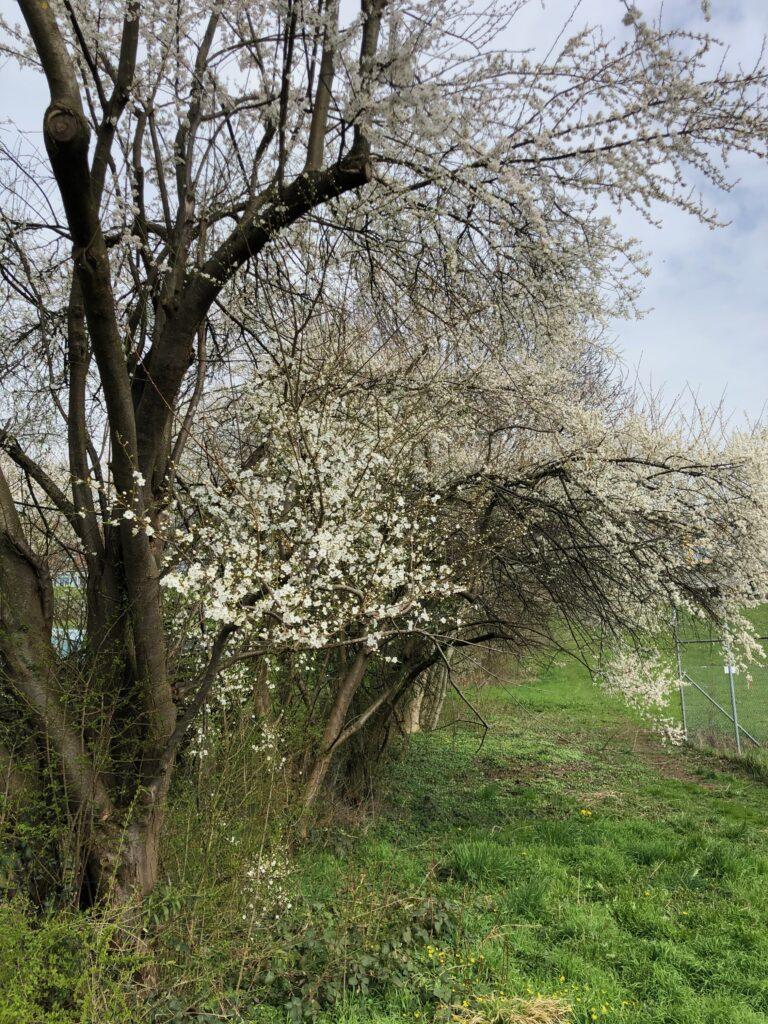 Blühender Baum in Uster